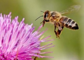 Attention, abeilles en voie de disparition