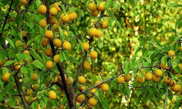 Comment élaguer les arbres fruitiers ?