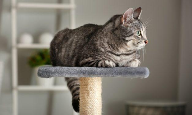 Quels sont les besoins nutritionnels d'un chat adulte ?